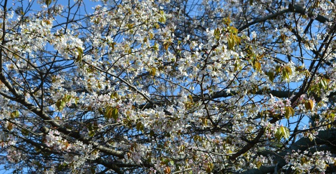 北野桜(社務所前) 見頃 2017年4月23日(平年4月19日相当) 撮影:MKタクシー