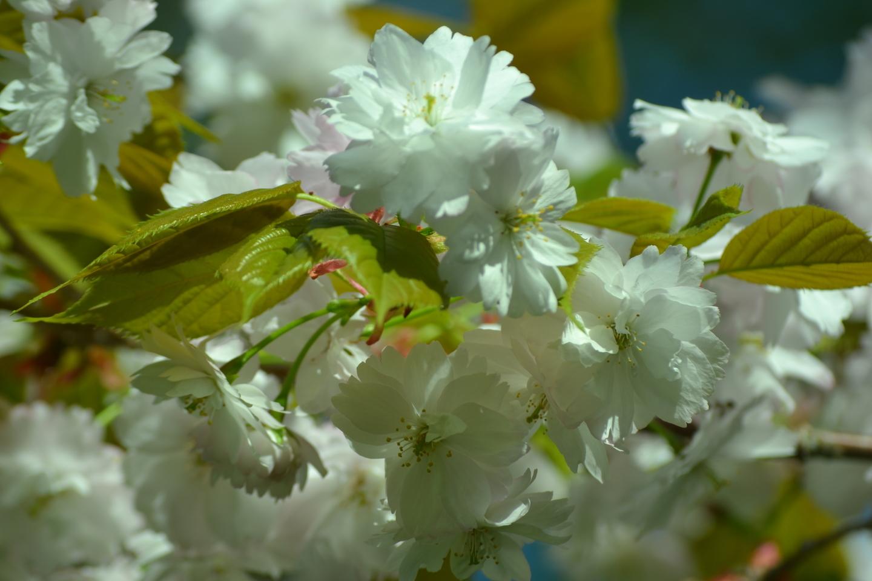 奈良の八重桜(京都府立植物園) 見頃 2018年4月18日(平年4月28日相当) 撮影:MKタクシー