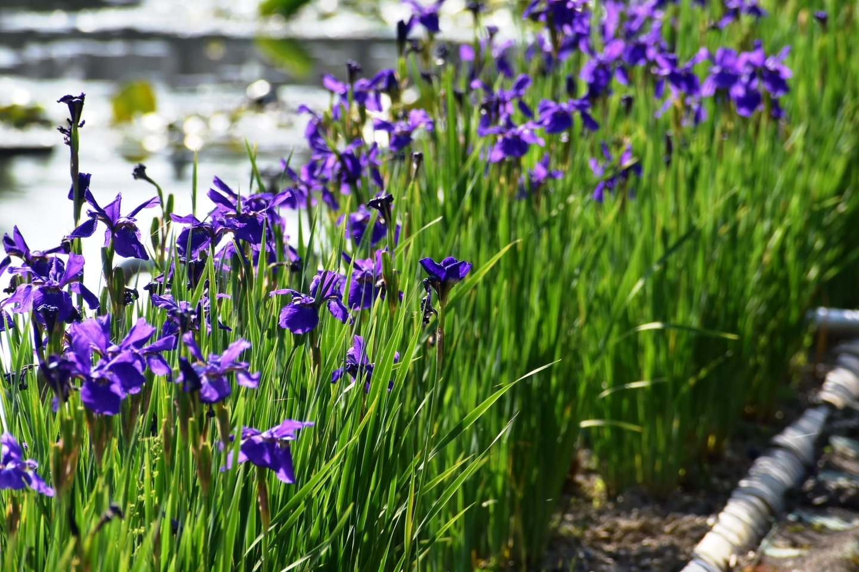 池のほとりに咲くまぎらわしいアヤメ 長岡天満宮 2019年5月11日 撮影:MKタクシー