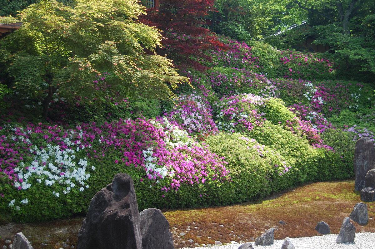波心の庭 五分咲き 2009年5月2日 撮影:MKタクシー