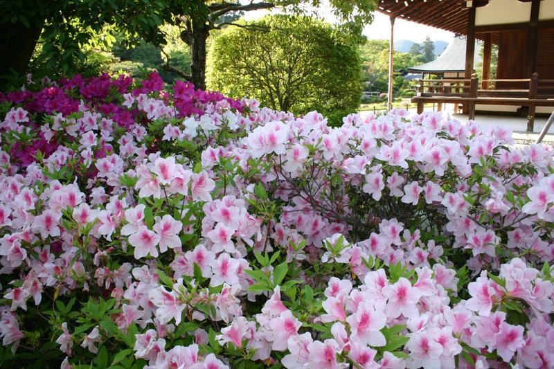 曹源池庭園 見頃 2005年5月10日 撮影:MKタクシー