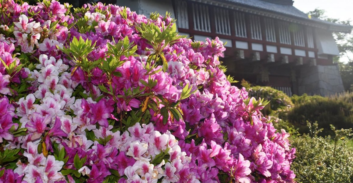 伏見桃山城 見頃 2019年5月10日 撮影:MKタクシー