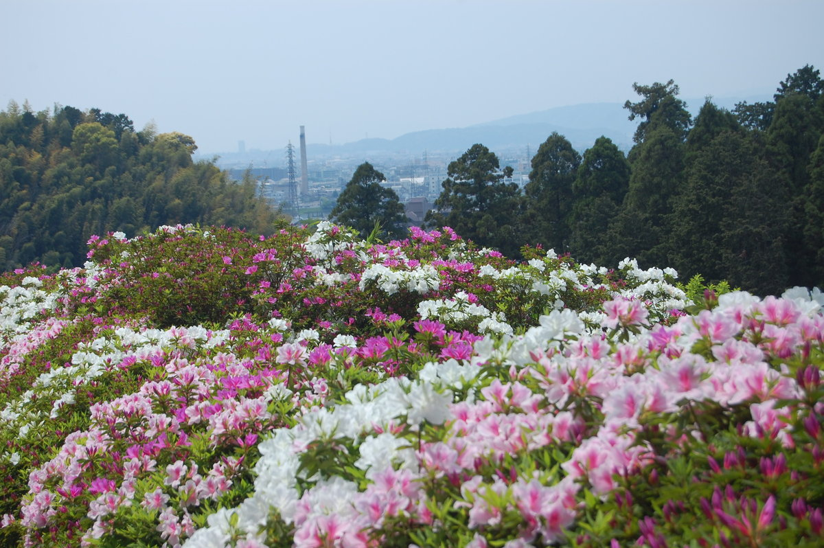 三室戸寺つつじ園 見頃 2009年5月2日 撮影:MKタクシー