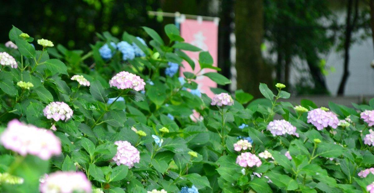 第一紫陽花苑 咲きはじめ 2018年6月1日 撮影:MKタクシー