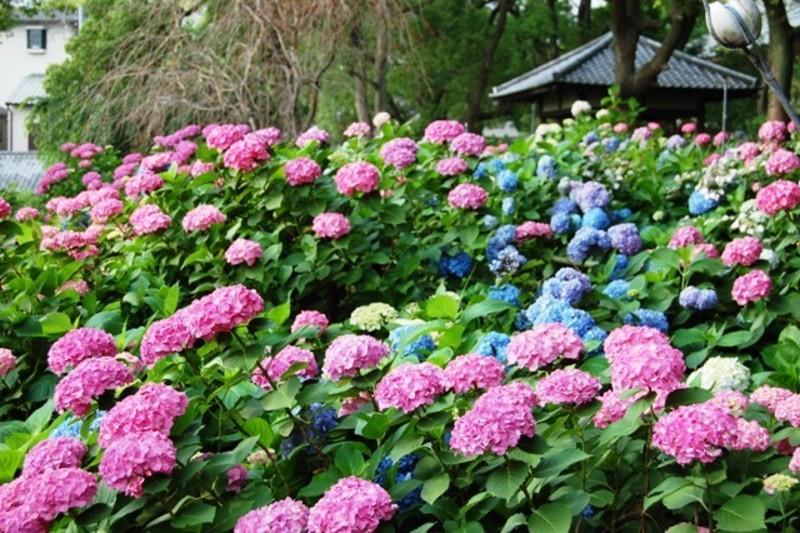 第一紫陽花苑 見頃 2007年6月17日 撮影:MKタクシー