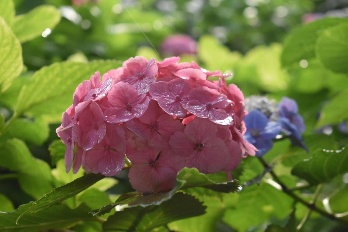第一紫陽花苑 見頃 2019年6月21日 撮影:MKタクシー
