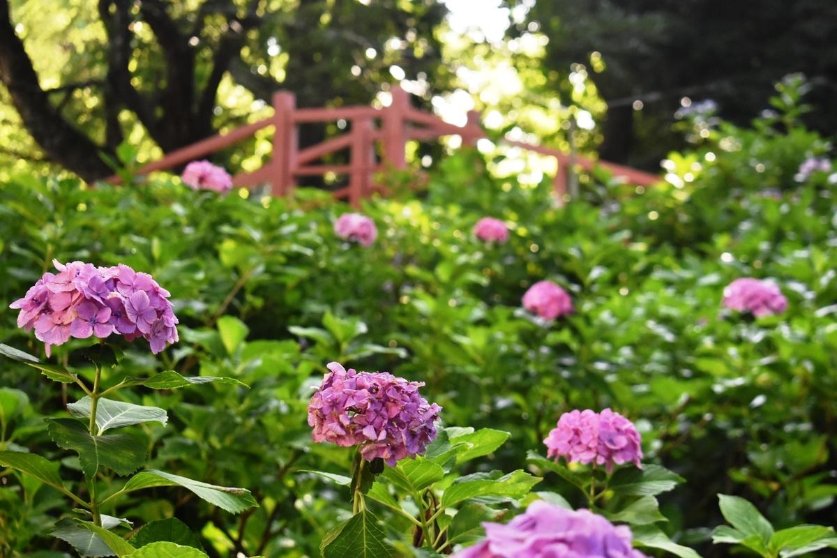 第二紫陽花苑 見頃 2019年6月25日 撮影:MKタクシー