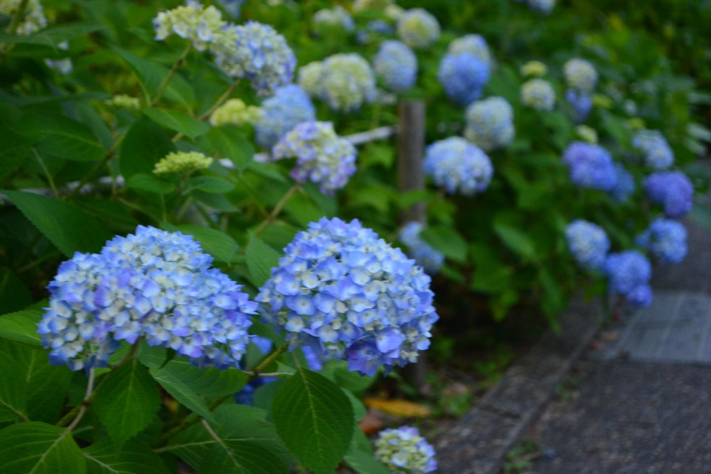 宇治市植物公園 あじさい 咲きはじめ 2017年6月3日 撮影:MKタクシー