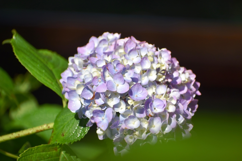 藤森神社 第一紫陽花苑 咲きはじめ 2021年5月31日 撮影:MKタクシー