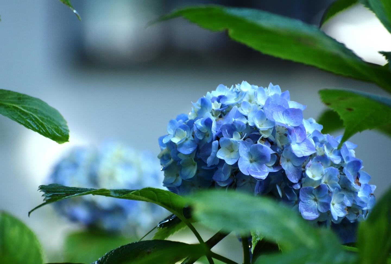 第一紫陽花苑 咲きはじめ 2021年5月31日 撮影:MKタクシー