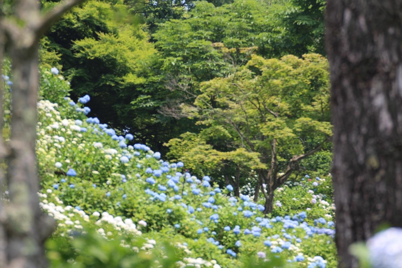 舞鶴自然文化園 アジサイの海 2019年6月20日 撮影:MKタクシー