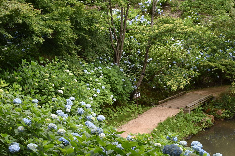 舞鶴自然文化園 アジサイめぐりコース 2018年6月18日 撮影:MKタクシー
