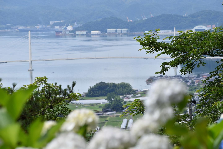舞鶴自然文化園 クレインブリッジとガクアジサイ 2019年6月30日 撮影:MKタクシー