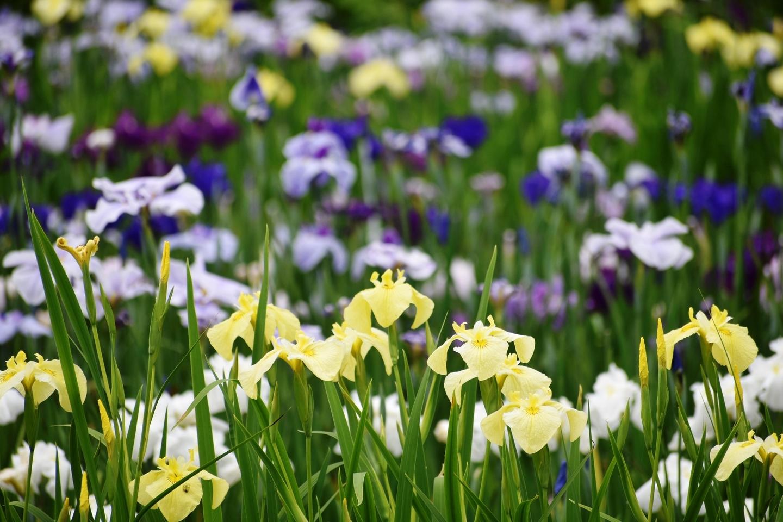 京都府立植物園 花しょうぶ園 見頃 2021年6月2日 撮影:MKタクシー