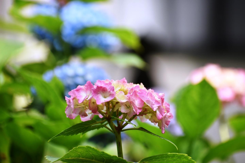 藤森神社 第一紫陽花苑 三分咲き 2021年6月2日 撮影:MKタクシー