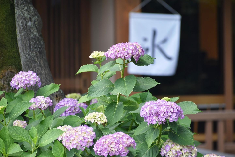 お茶と酒 たすき あじさい 五分咲き 2021年6月1日 撮影:MKタクシー