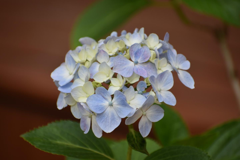 植物展示場 オタクサ 五分咲き 2021年6月2日 撮影:MKタクシー