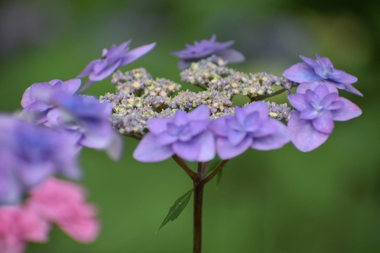 京都府立植物園 美山八重紫(ヤマアジサイの京都固有種) 見頃 2021年6月2日 撮影:MKタクシー