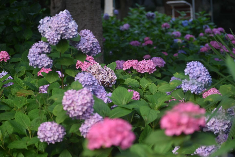 第一紫陽花苑 見頃 2019年6月20日 撮影:MKタクシー