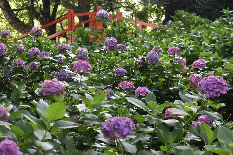 第二紫陽花苑 見頃 2020年6月29日 撮影:MKタクシー