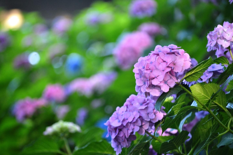 第一紫陽花苑 見頃 2018年6月14日 撮影:MKタクシー