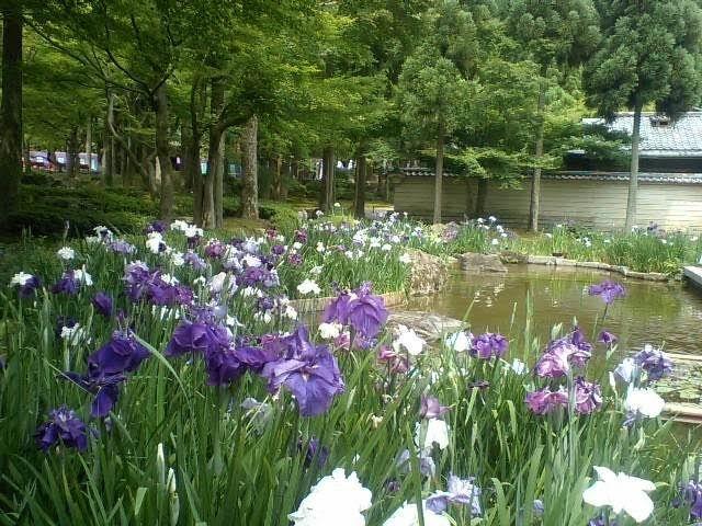 平安神宮西神苑 花菖蒲 見頃 2021年6月05日 撮影:MKタクシー