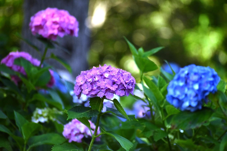 第一紫陽花苑 五分咲き 2021年6月10日 撮影:MKタクシー