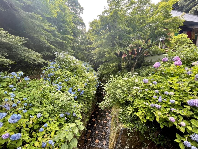 東光院 あじさい 五分咲き 2021年6月11日 撮影:MKタクシー
