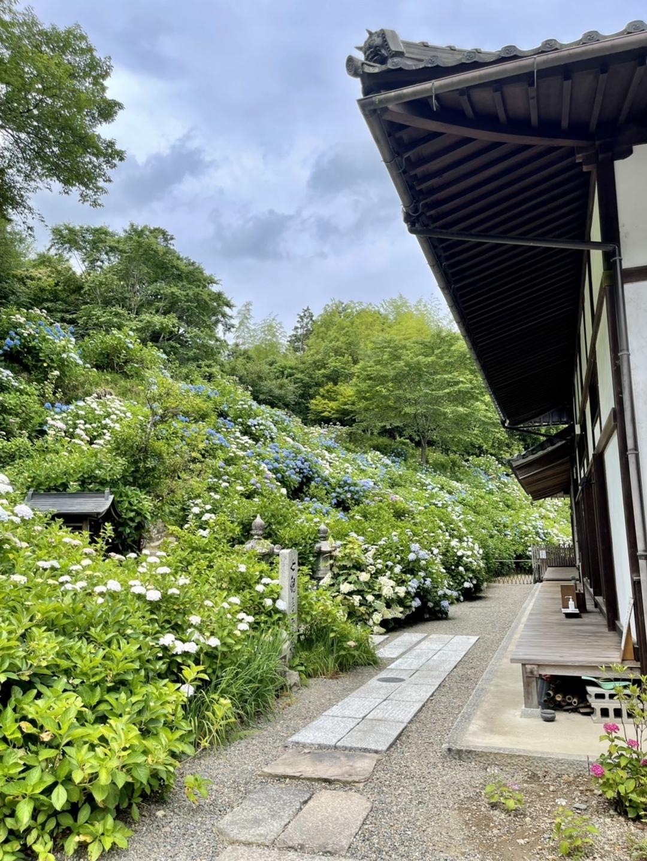 丹州観音寺 あじさい 七分咲き 2021年6月11日 撮影:MKタクシー