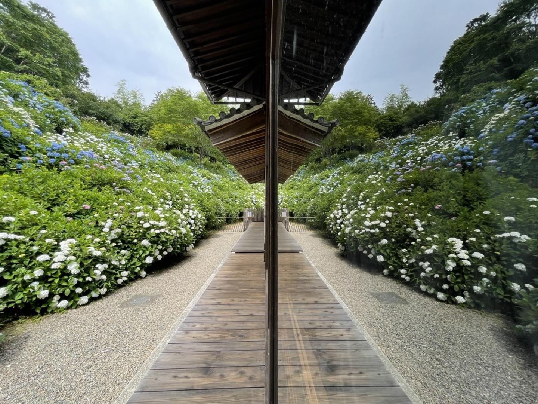寺務所横のあじさい 七分咲き 2021年6月11日 撮影:MKタクシー