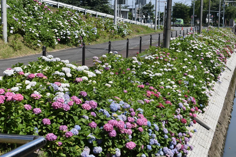 京都市南部クリーンセンター アジサイの小径 見頃 2021年6月9日 撮影:MKタクシー
