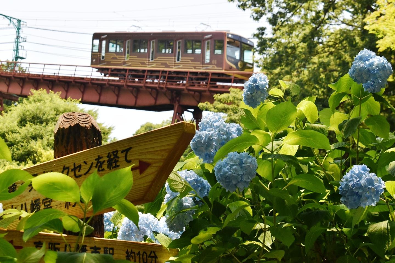 神応寺より石清水八幡宮参道ケーブルとあじさい 五分咲き 2021年6月9日 撮影:MKタクシー