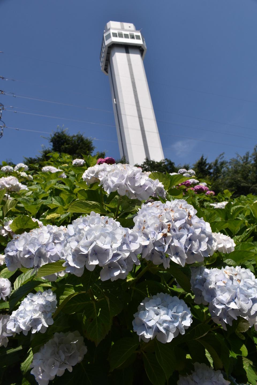 京都市南部クリーンセンター 展望台とあじさい 見頃 2021年6月9日 撮影:MKタクシー