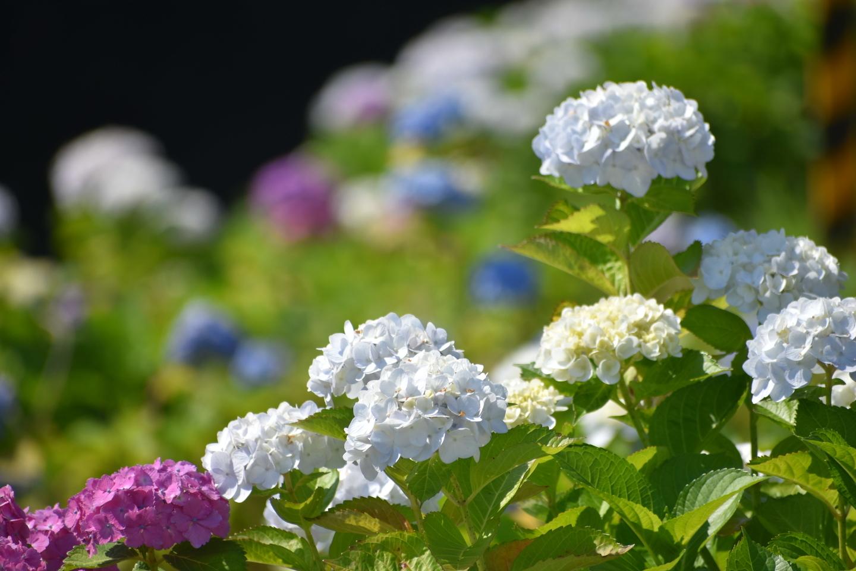 京都市南部クリーンセンター アジサイの小径 五分咲き 2021年6月9日 撮影:MKタクシー