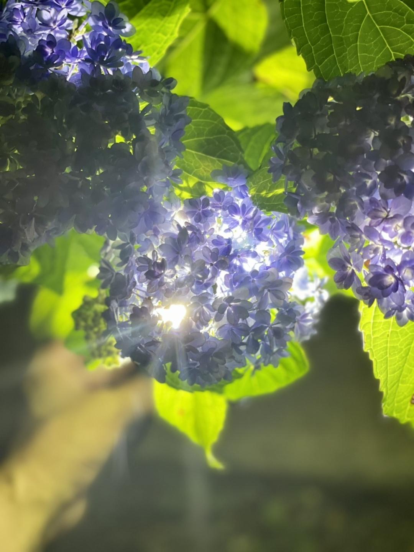 六孫王神社 懐中電灯と照らし出したあじさい 見頃 2021年6月16日 撮影:MKタクシー