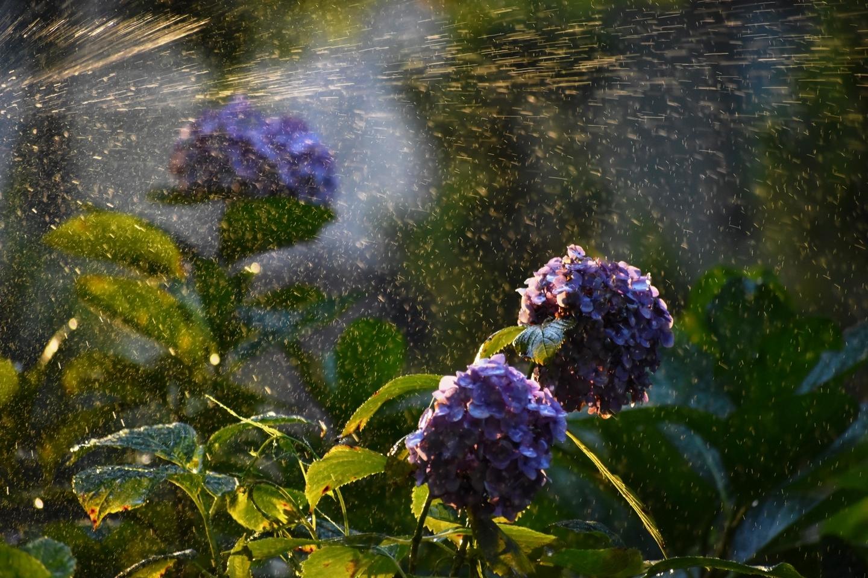 第一紫陽花苑 見頃 2021年6月17日 撮影:MKタクシー