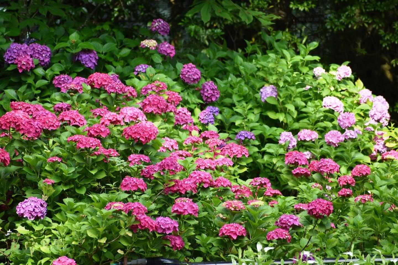 京都府立植物園 あじさい園 見頃 2021年6月17日 撮影:MKタクシー