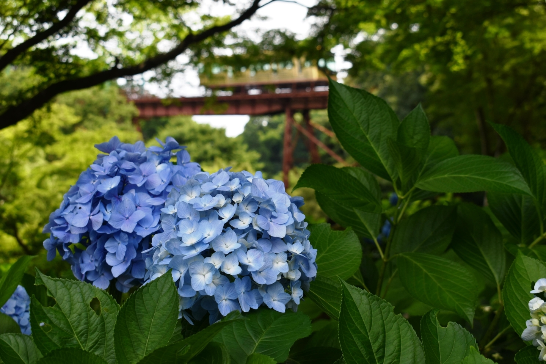 神応寺より石清水八幡宮参道ケーブルとあじさい 見頃 2021年6月20日 撮影:MKタクシー