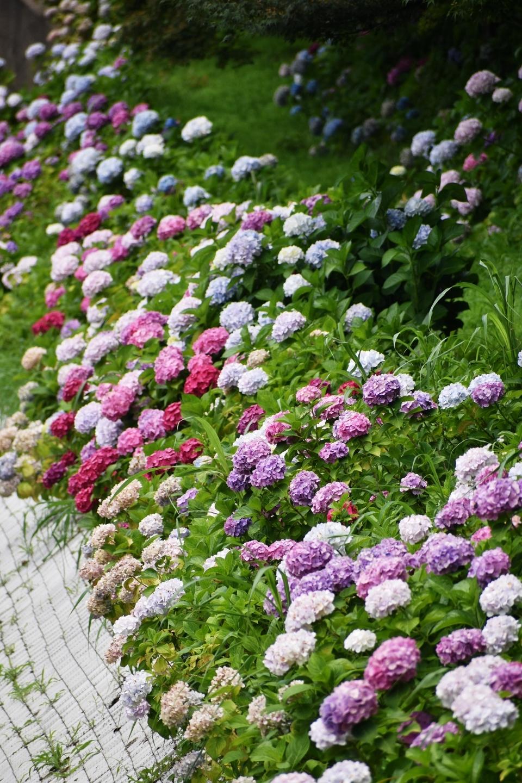 京都市南部クリーンセンター 色とりどりに咲くあじさい 2021年6月20日 撮影:MKタクシー