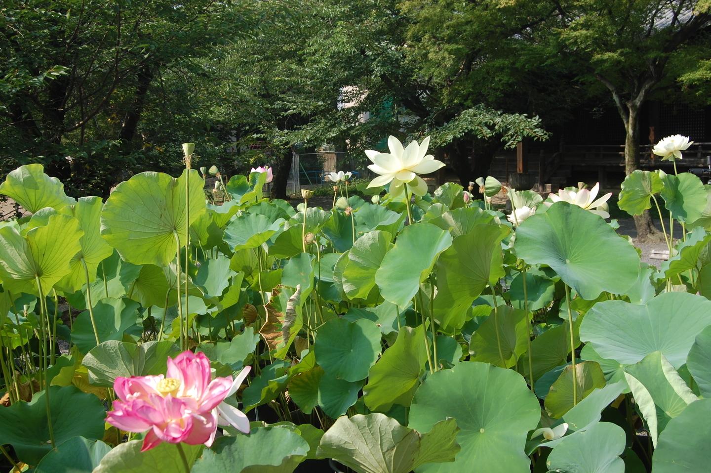 立本寺 蓮 散りはじめ 2007年7月28日 撮影:MKタクシー
