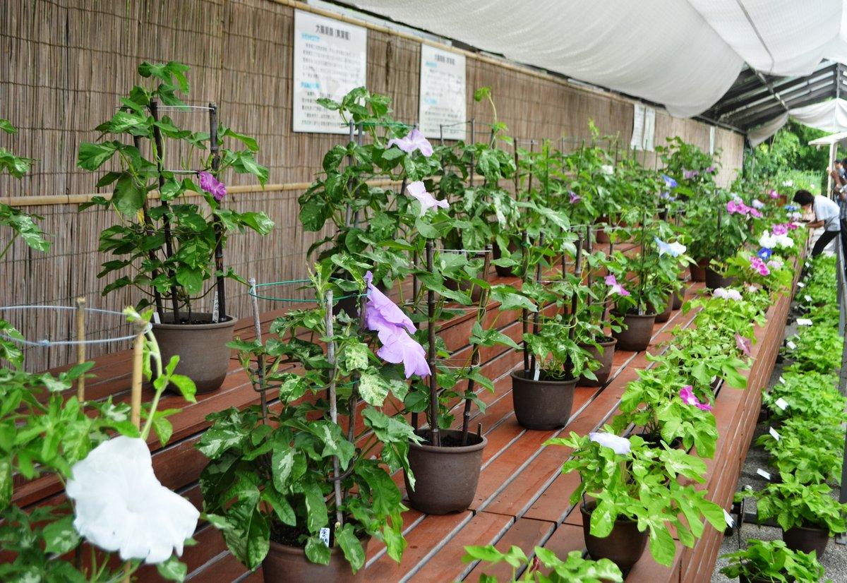 植物展示場に並ぶ鉢植えの朝顔 2017年7月28日 撮影:MKタクシー
