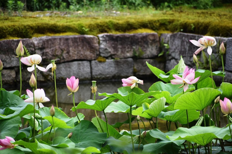 建仁寺 放生池の蓮 2021年6月30日 撮影:MKタクシー