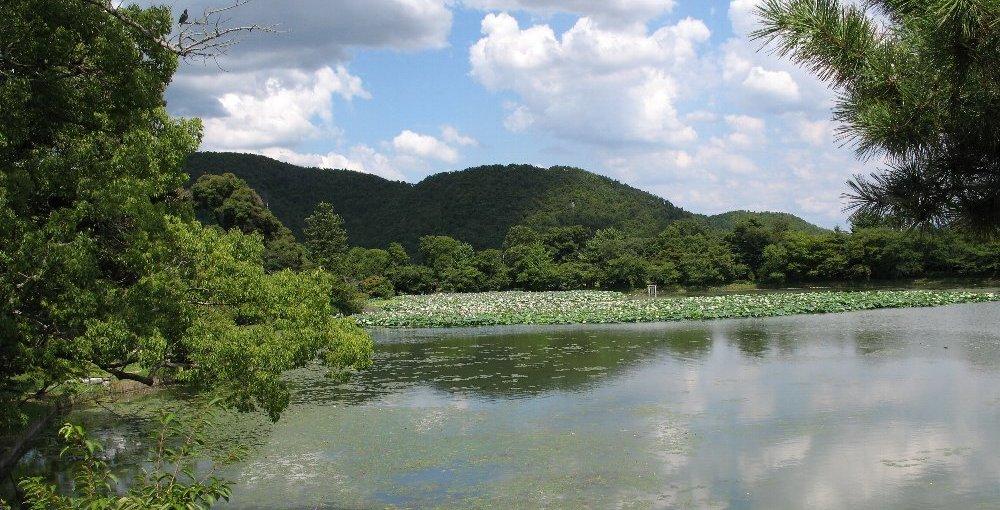 大沢池 復活し始めた蓮 見頃 2008年8月13日 撮影:MKタクシー