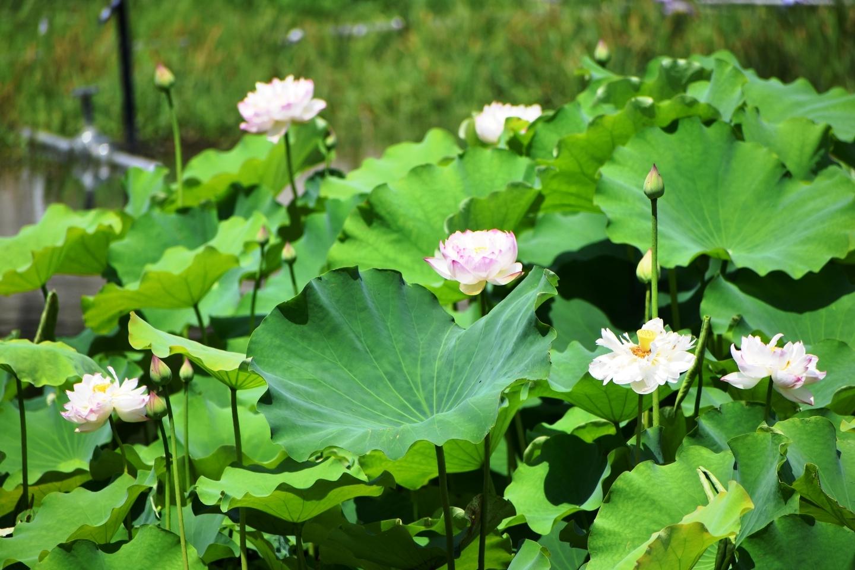 八条ヶ池 西湖紅蓮 咲きはじめ 2020年6月20日 撮影:MKタクシー