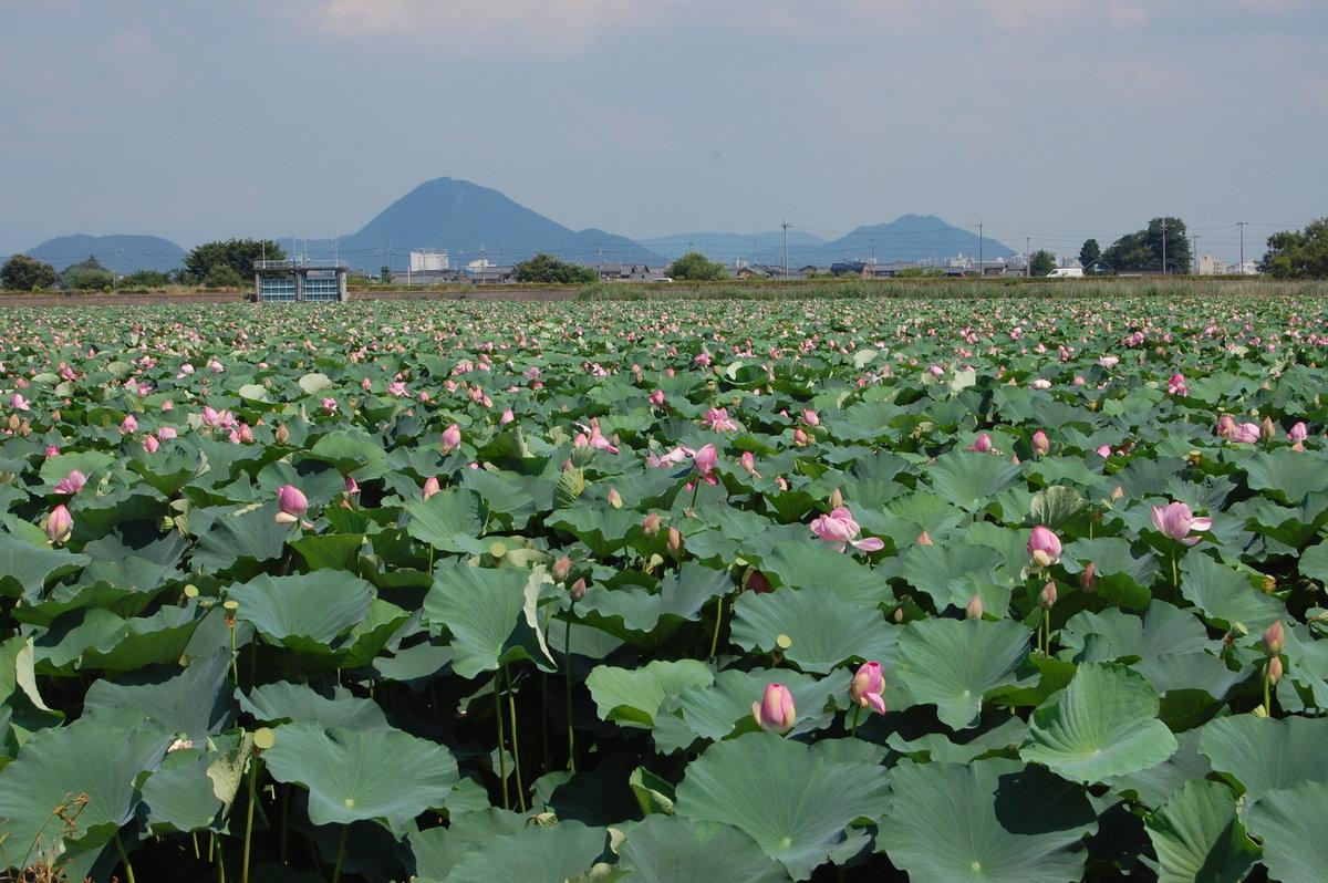 烏丸半島の蓮と近江富士 2008年7月25日 撮影:MKタクシー