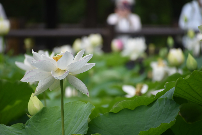 京都府立植物園の観蓮会 2021年7月10日 撮影:MKタクシー