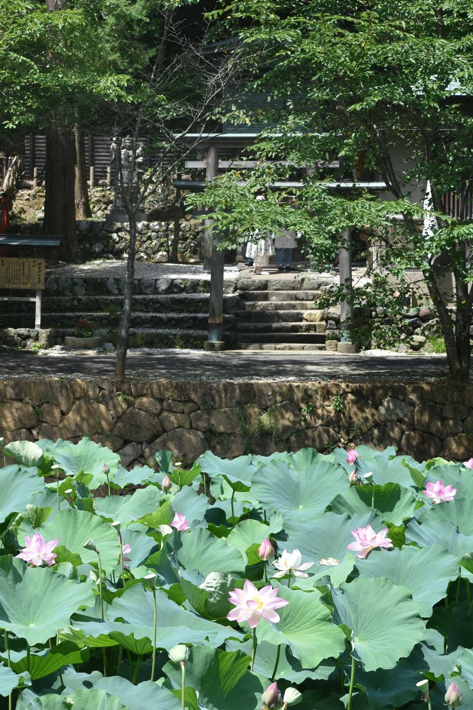 小倉池の蓮と御髪神社 2021年7月22日 撮影:MKタクシー