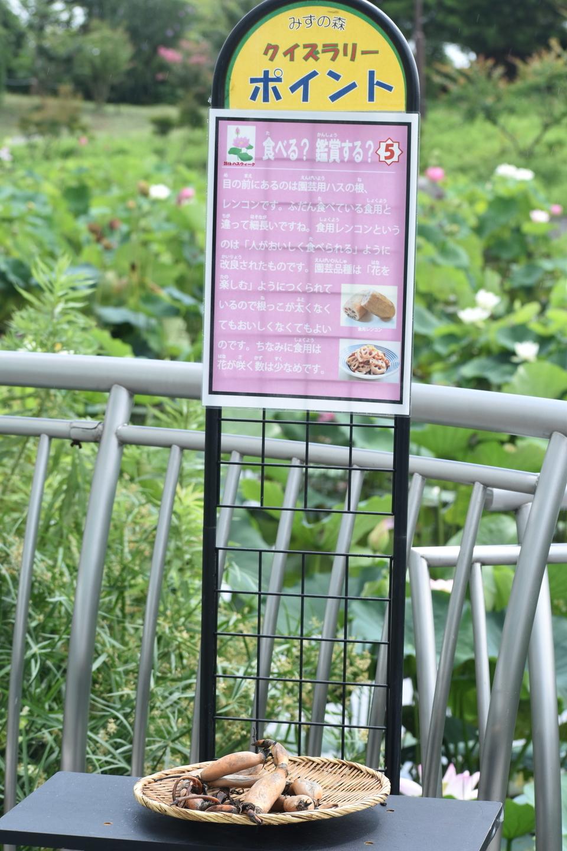 花蓮のレンコン 草津市立水生植物公園みずの森 2021年7月13日 撮影:MKタクシー