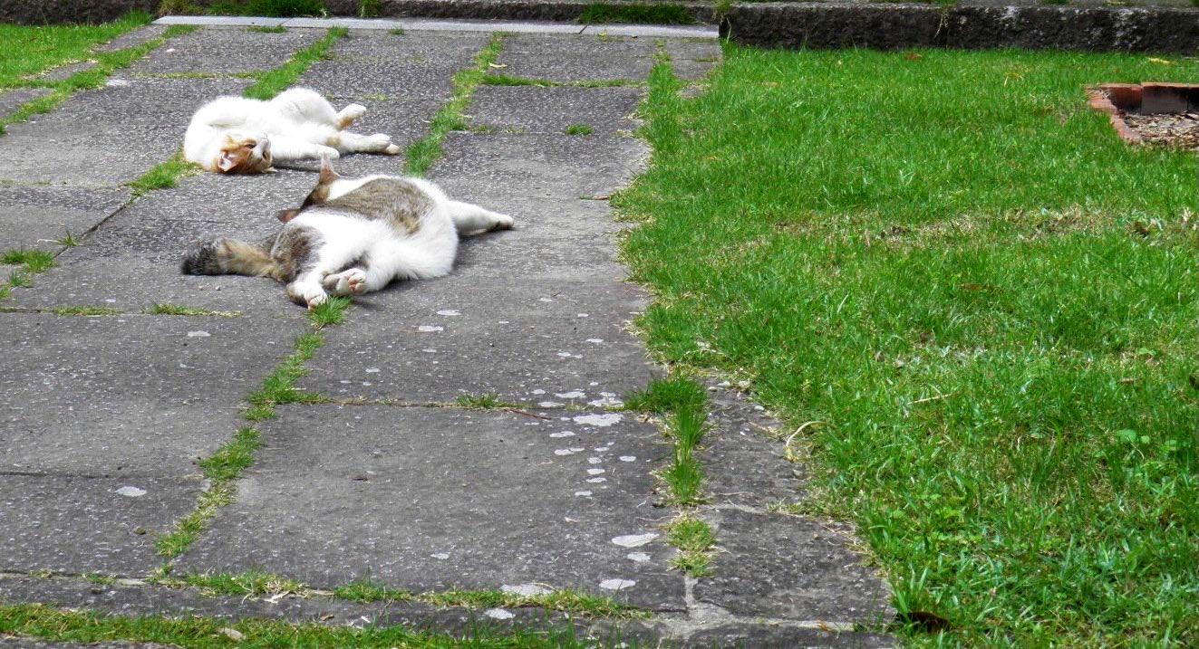 暑さのあまりにまさに溶け出している猫 撮影:MKタクシー