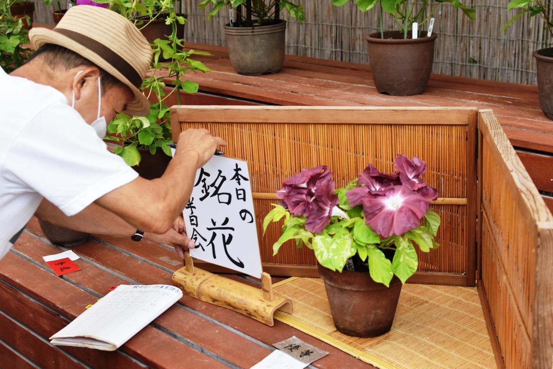 本日の銘花に選ばれた数咲き作りの朝顔 2021年7月30日 撮影:MKタクシー